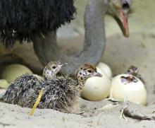 Live Ostrich Chicks & Ostrich Hatching Eggs