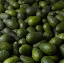 Fresh Avocado for sell