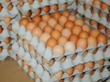 Fresh chicken eggs for sell