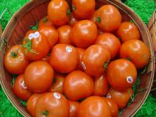 PREMIUM CLASS 1 FRESH RED TOMATOES FOR SALE