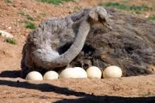 ostrish eggs