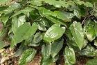Pure Natural Epimedium Extract /Icariin
