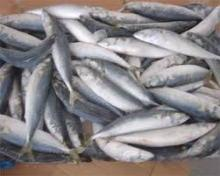 High quality frozen pacific mackerel for sale