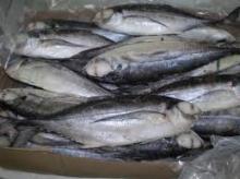 Frozen Pacific Mackerl fish