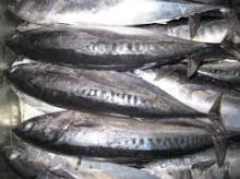Frozen Bonito Fish