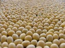 High Quality Indonesia Soybeans