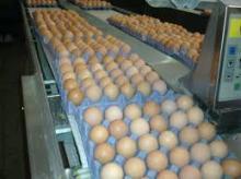 Broiler eggs