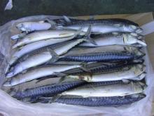 High quality frozen horse mackerel 80PCS-90PCS