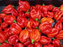 fresh hot pepper habanero & scotch bonnet