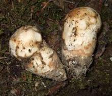 Wild Mushroom Matsutake