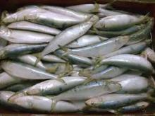 Hot selling frozen fish sardine fish whole frozen