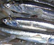 Anchovy Fish,Frozen Anchovy Fish,Dried Anchovy Fish,White Anchovies Frozen