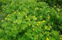 Greater Calandine Herb Extract