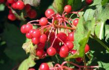 Cranberry anthocyanin