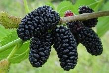 Mulberry,Frozen Mulberry,Canned Mulberry Jam,Dried Mulberry,Mulberry Pulp,Mulber