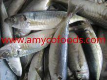 High quality horse mackerel(Decapterus maruadsi)