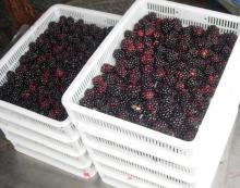 Frozen Blackberry(Hull, Chester)