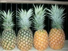 Fresh Pineapple- Variety MD2
